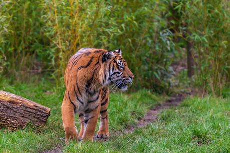 L'abus de l'exploitation forestière met en danger de nombreuses espèces, dont le tigre de Sumatra. (Photo: Shutterstock)