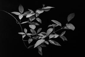Nuno Lorena, «Leaves (nr.1)», fusain sur papier, 99x144cm, prix de départ: 6.400€. ((Photo: Nuno Lorena))