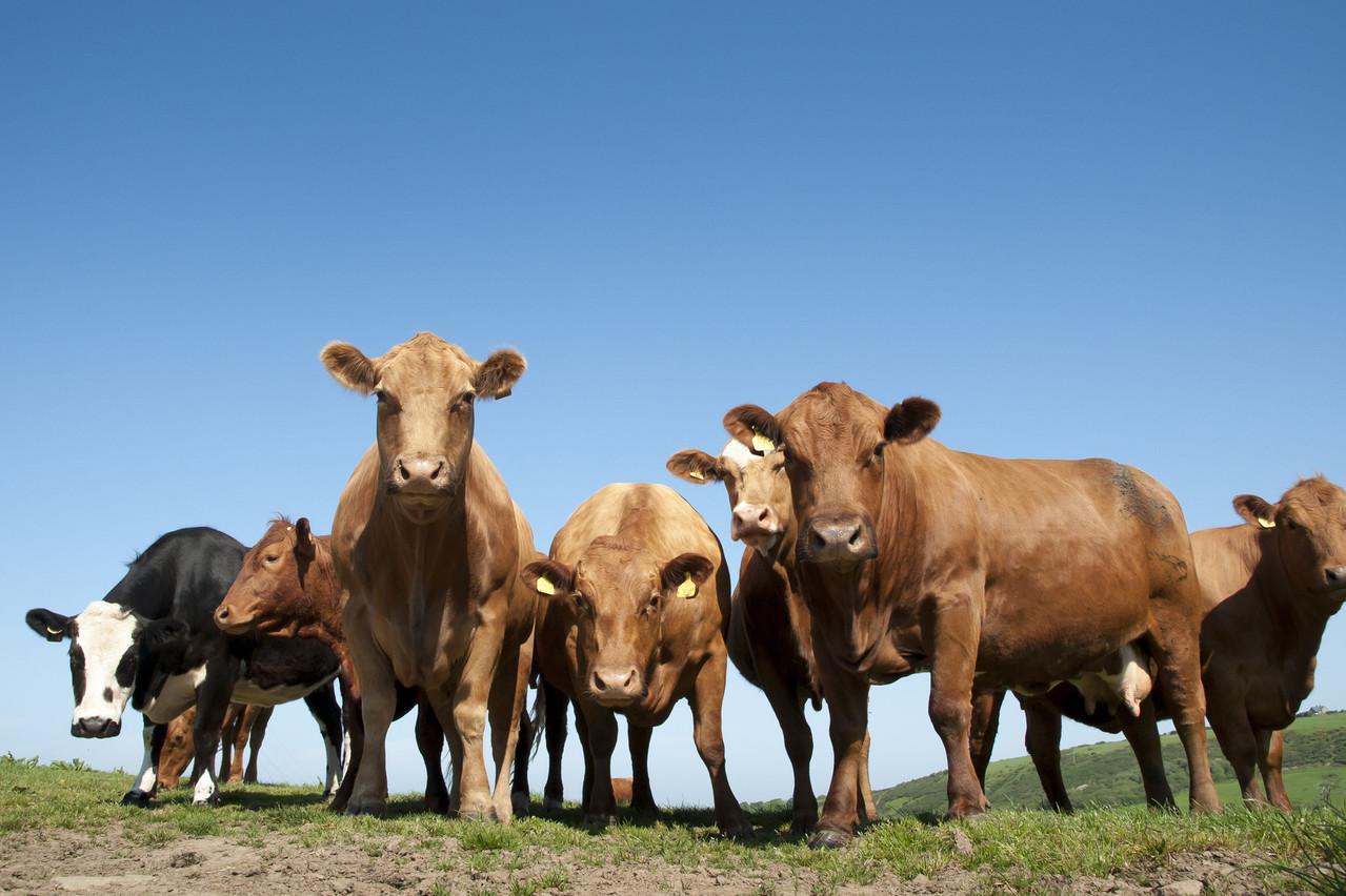 Les élevages bovins représentent une source importante d'émissions de gaz à effet de serre. Une moindre consommation de viande sera donc aussi bénéfique pour la planète. (Photo: Shutterstock)