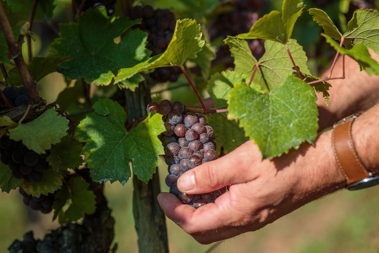 Les premiers pinots noirs, surtout ceux destinés à la production de crémant, sont déjà en cours de vendange dans certains domaines viticoles. (Photo: Matic Zorman / Maison Moderne)