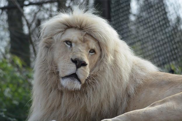 Le zoo d'Amnéville compte 2.000 animaux des cinq continents, dont des lions blancs. (Photo : Shutterstock)
